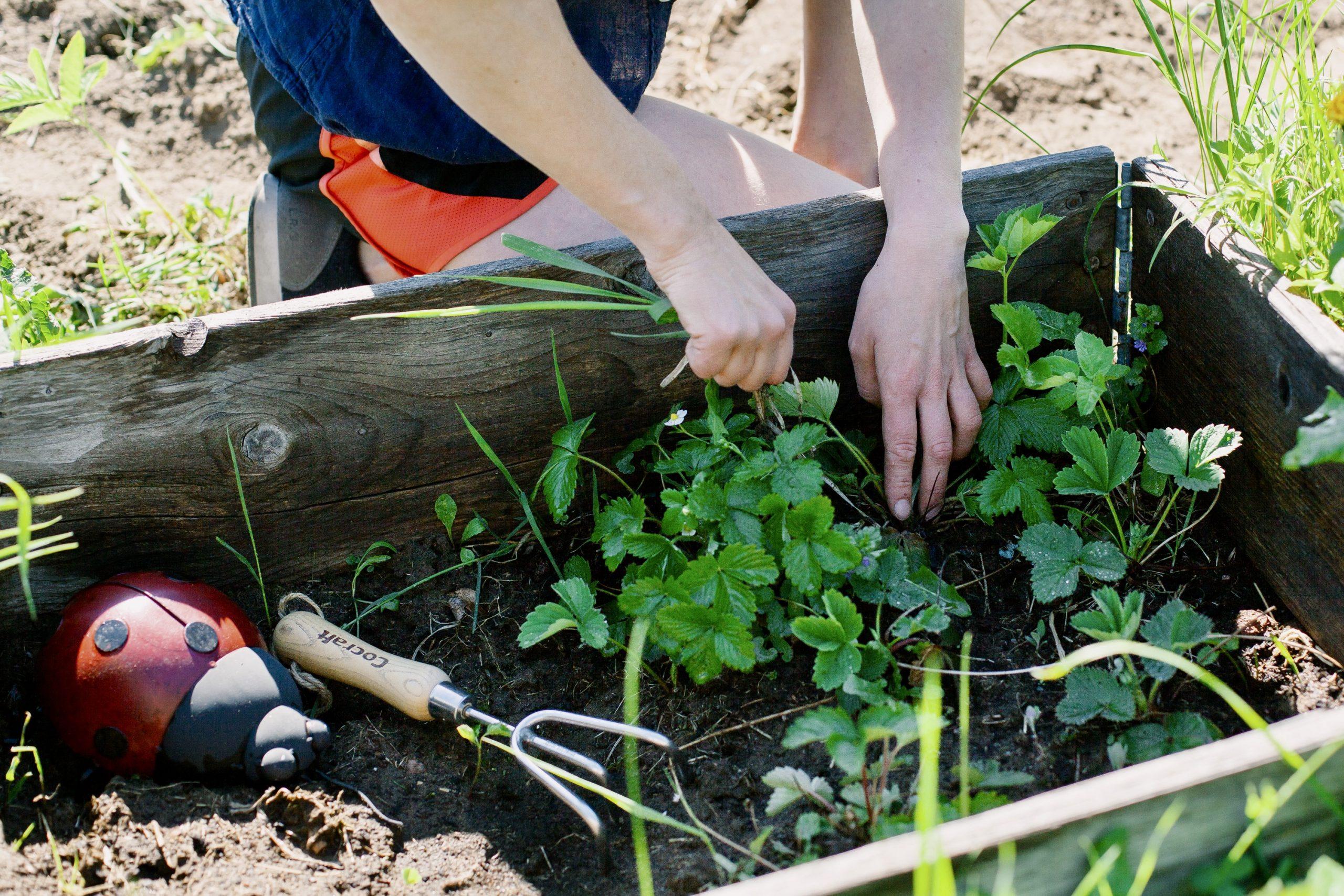 odla-urban-garden-harvest