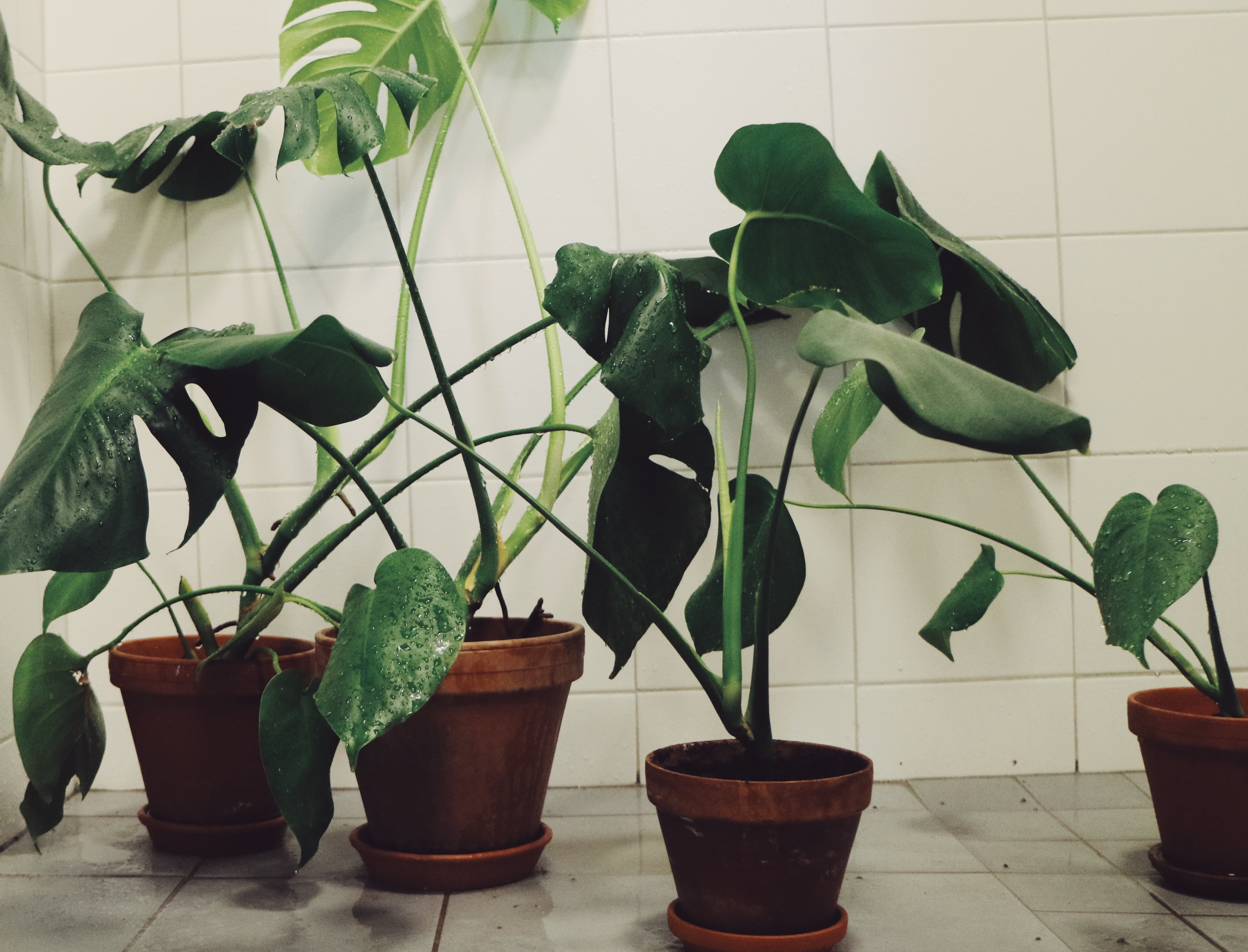 monstera-plant-lady-greens