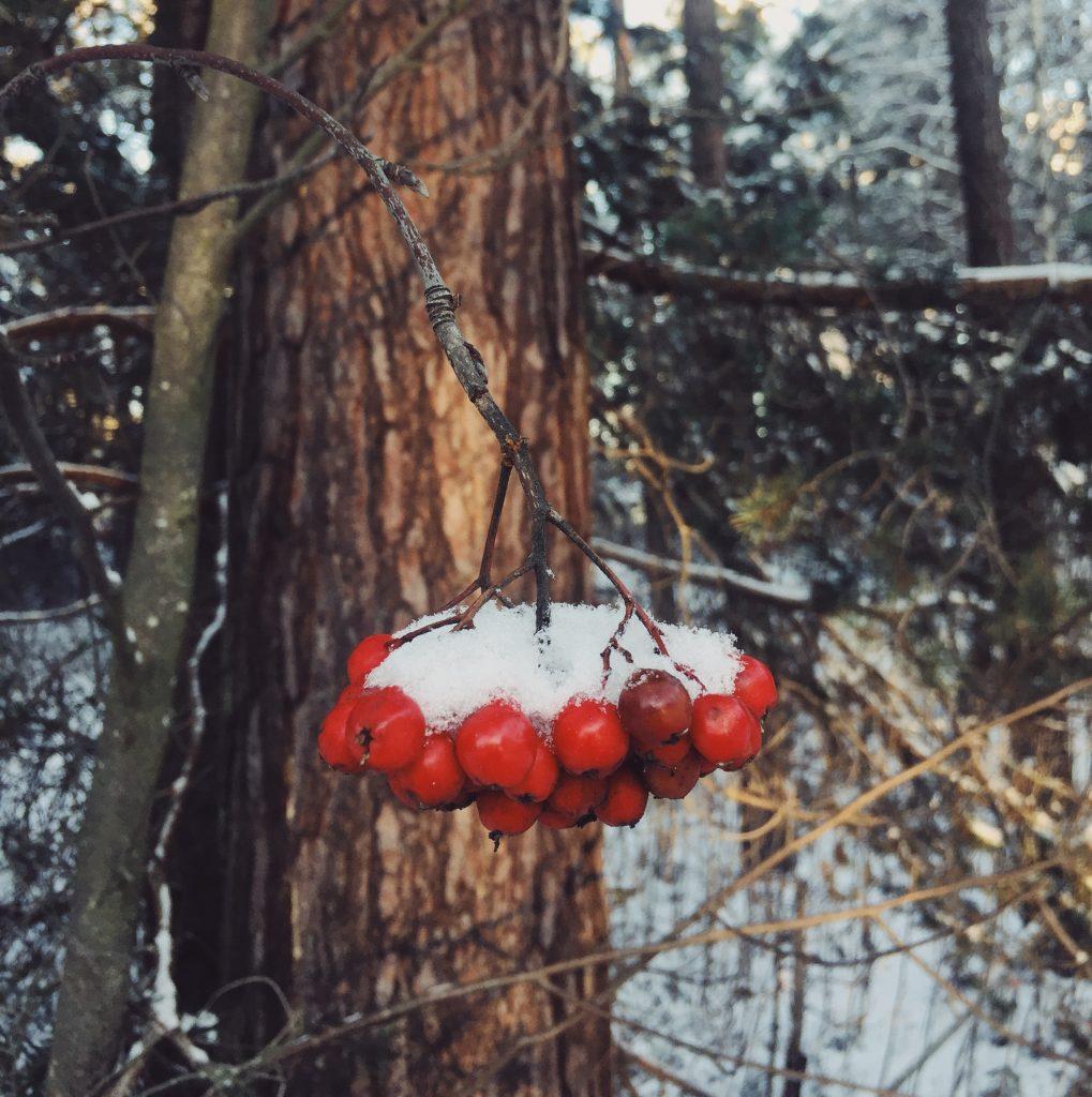 winter-snow-rowanberries