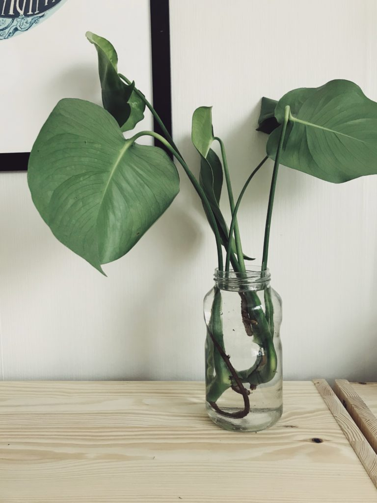 monstera-grow-your-own-cutling