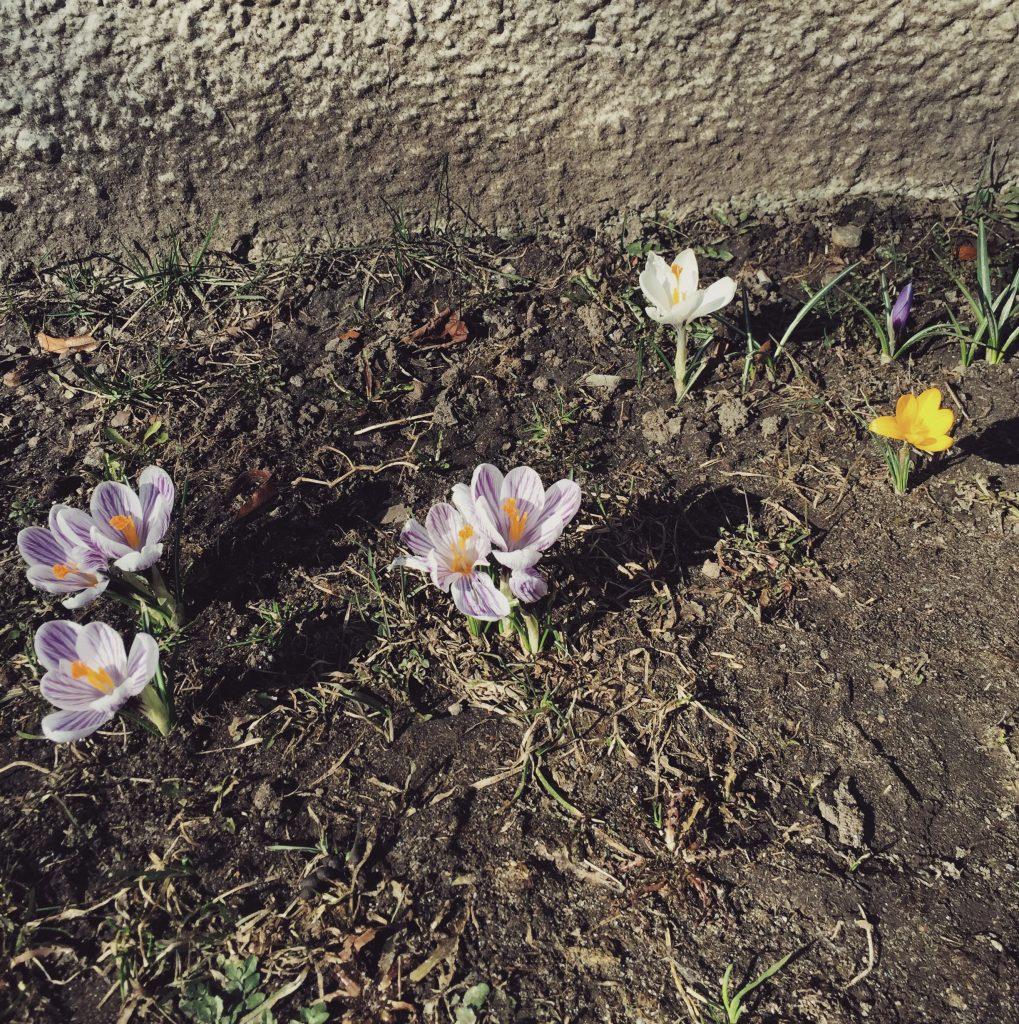flowers-spring-krokus