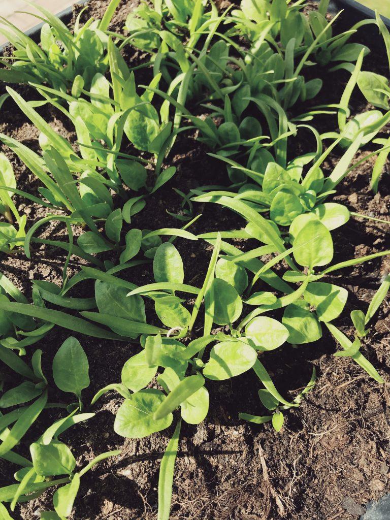 urban-garden-organic-selfsufficient-odla-city-garden-gavle