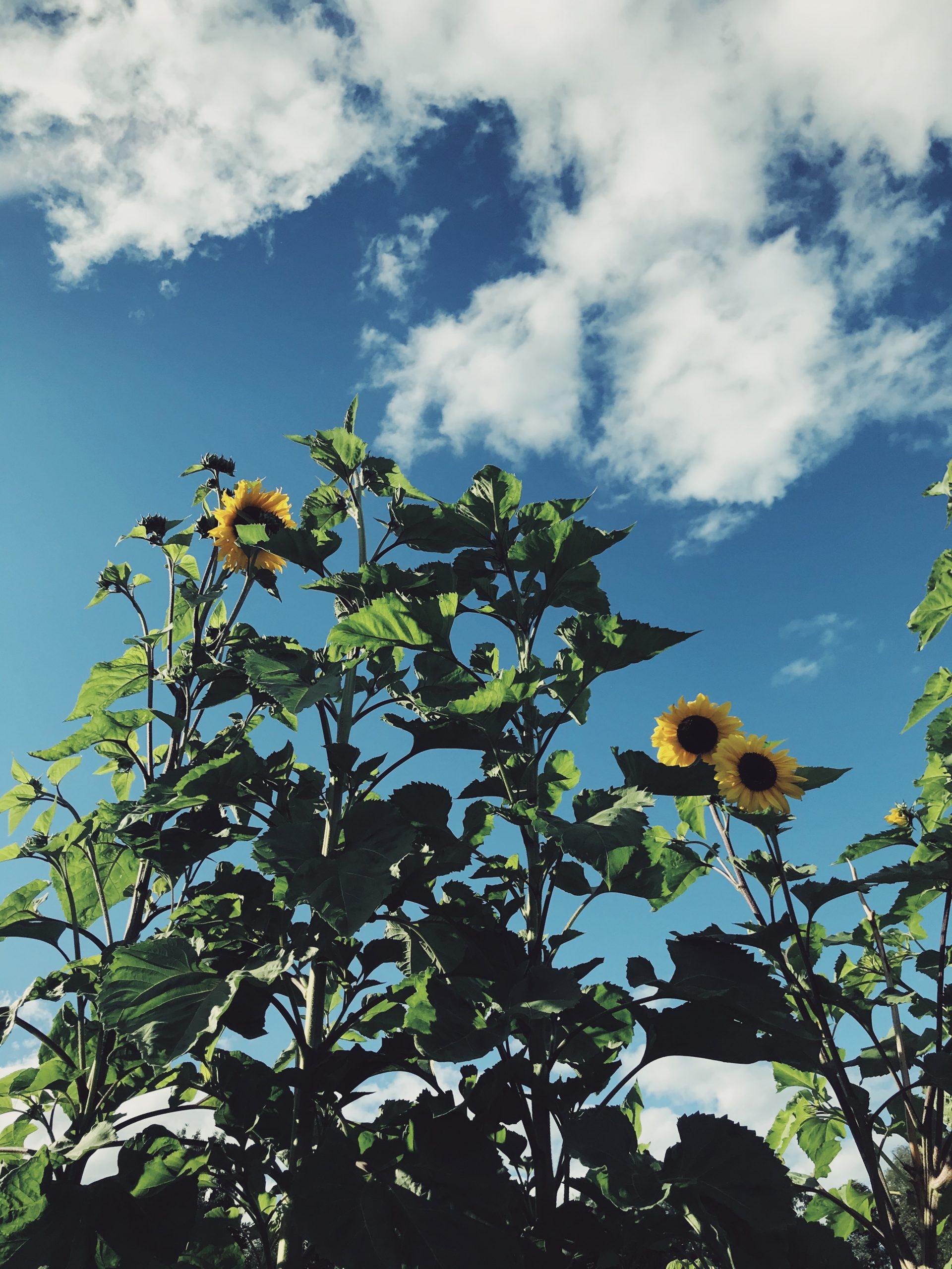 sunflower-solros-odla-gardening-odling